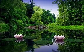 lotus flowers on water