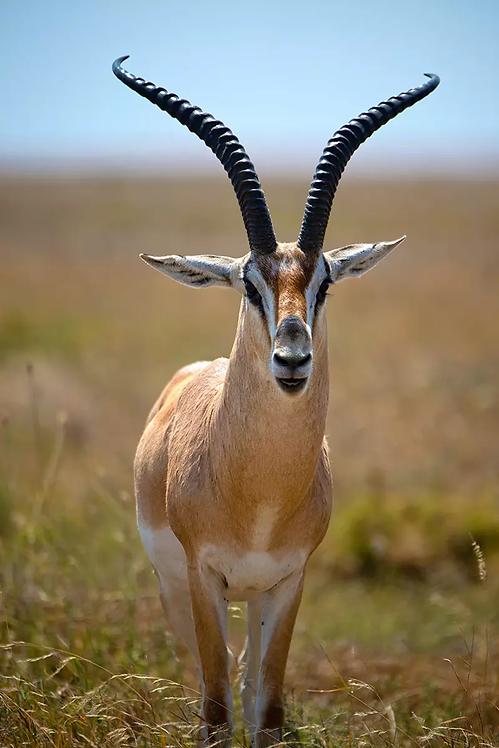 Sun Gazing Gazelle - ARTLIT™