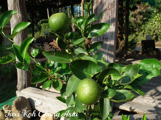 Lime at Koh Chang