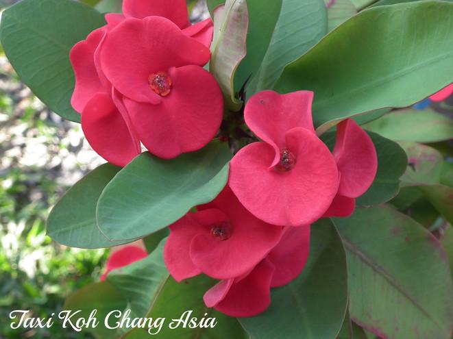 Koh Chang Flowers