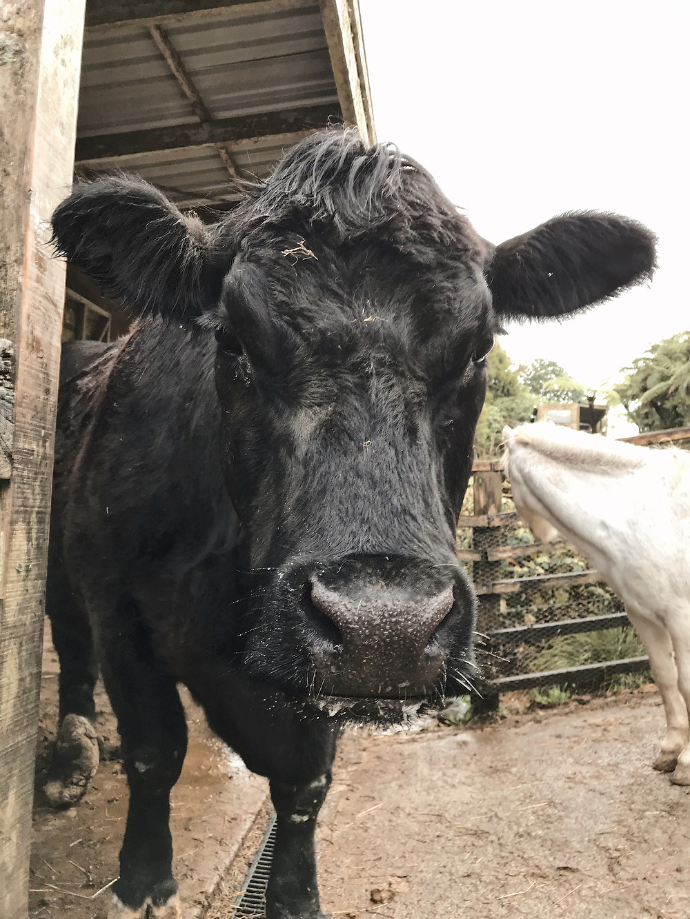 Big Angus Bull
