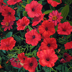 Red Petunias and Zinnias