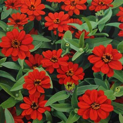 Zinnia Profusion Red Returns