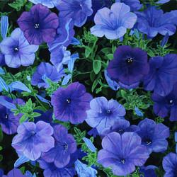 Petunia Quinta Blue