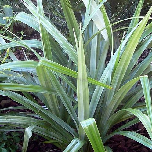 Astelia Silver spear