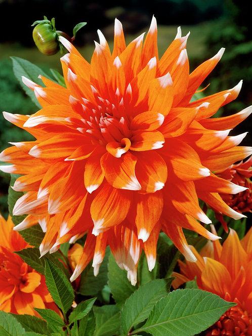 Dahlia  'Colour Spectacle'