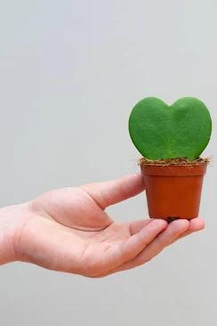 Plante Hoya Kerrii