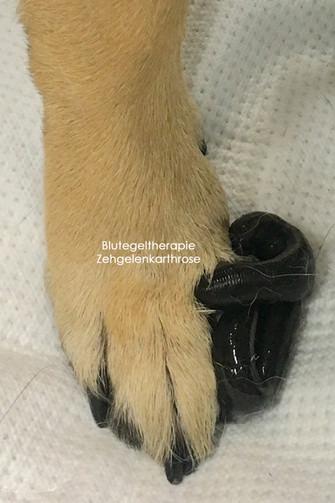Blutegeltherapie bei Zehgelenk Arthrose Hund