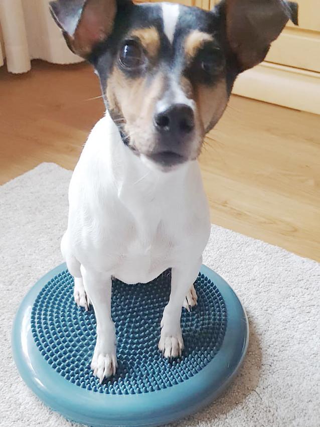 Balancekissen Muskelaufbau Hundephysiotherapie