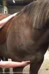 Parietale-Fasziale Osteopathie Pferd