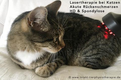 Lasertherapie-Katze