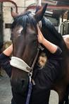 craniosacrale Therapie beim Pferd
