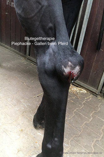 Bluetegel Piephacke beim Pferd