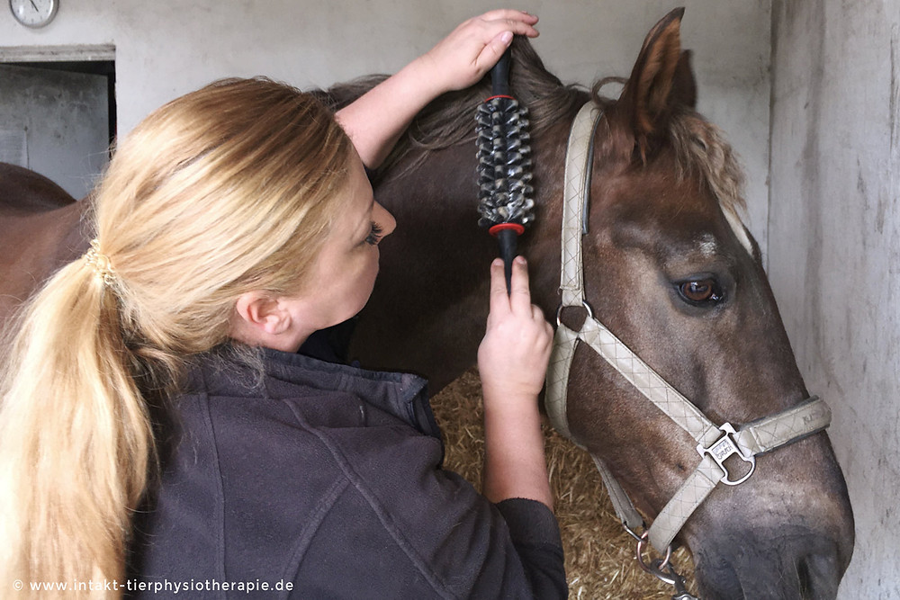 Faszientherapie beim Pferd • Faszienmassage mit Rolle in der Pferdephysiotherapie