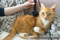Lasertherapie bei Katzen