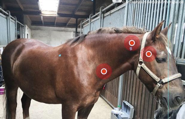 Triggerpunkte beim Pferd behandeln