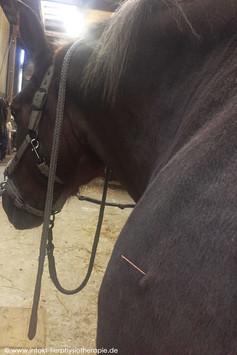 Triggerpunkt Akupunktur Pferd