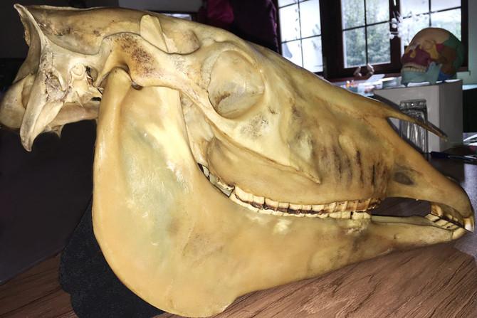Pferdeschaedel-craniosacraltherapie