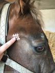 Crosstape Taping Kiefergelenk Pferd