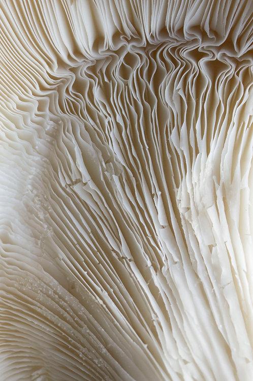 Oyster Mushroom Wallpaper
