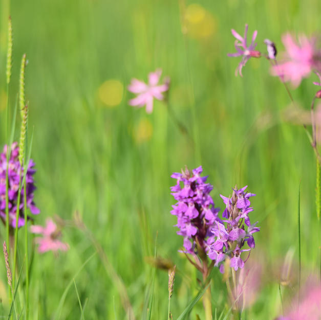 Orchids, wild flower meadow
