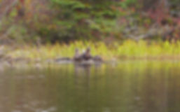 Otters in the BWCA, reat wildlife in the BWCA