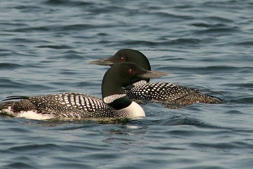 Fall Lake Fishing, BWCA Wildlife, Basswood Lake, Loons