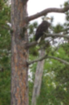 BWCA Wildlife, Canoe Trips, Ely Minnesota, Bald Eagle