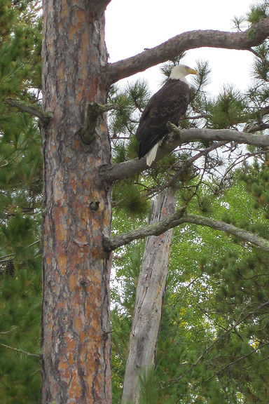 BWCA Wildlife, Canoe Trips, Ely Minnesota, Bald Eagle