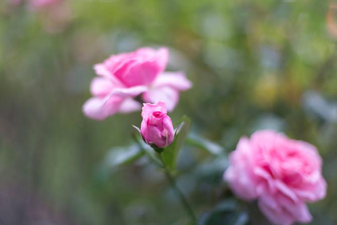 Roses in Regent's Park London