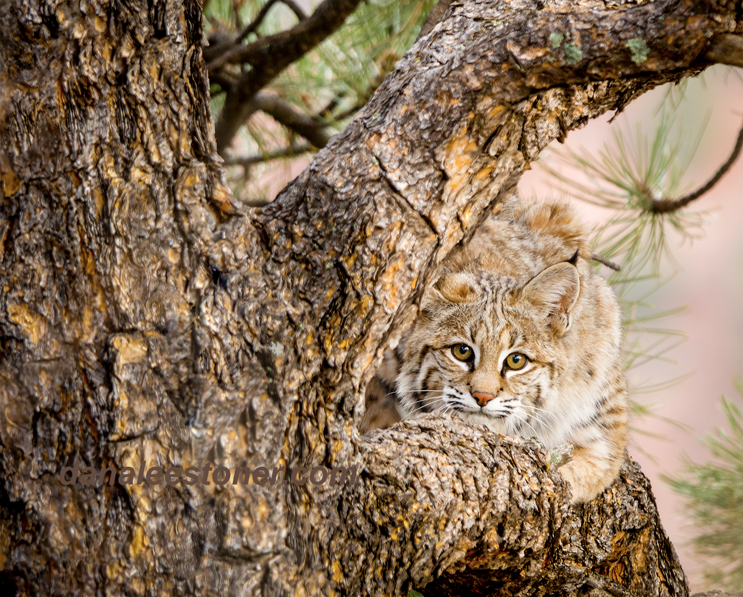 bobcat in tree wm