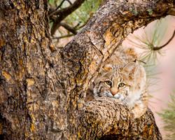 bobcat in tree wm