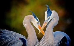 Heron Romance