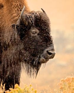 Bison Mom Lamar1