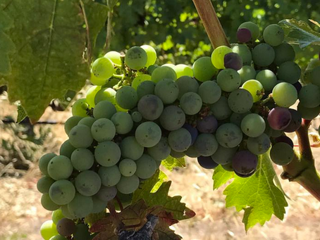 Signs Of Upcoming Harvest In Napa Valley