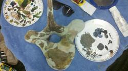 Mastodon Vertebrae