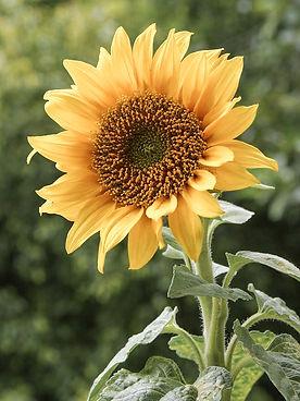 A_sunflower_edit.jpg