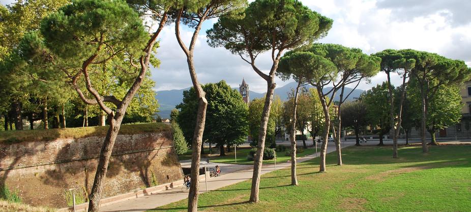 the Umbrella Pines - Lucca