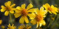 Brittlebush flowers