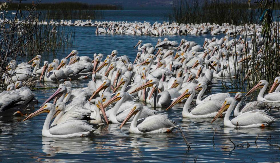 White Pelicans - Lake Chapala