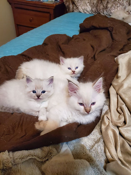 Zolene kittens 2.jpg