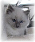 Traditional Blue Ragdoll Snowflake as a Kitten