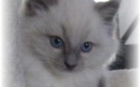 Ragdoll Kittens PEI, Canada Precious Luv Ragdols Kittens Available