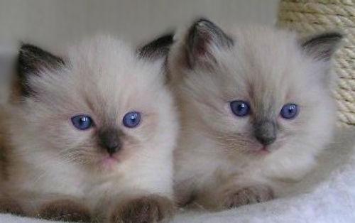 Traditional Ragdoll Kittens and Lynx Ragdolls