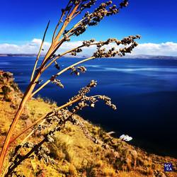 Quinoa plant - Tequile Island