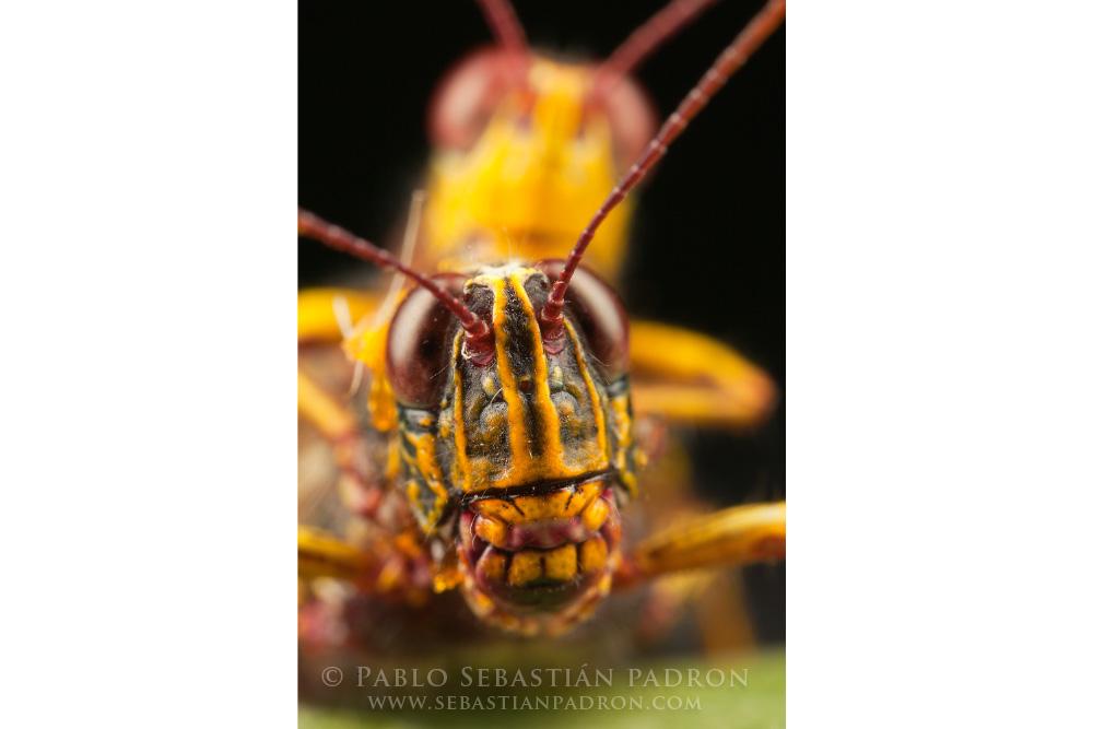 Grasshopper 3 Ecuador