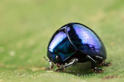 Chrysomelidae 4 - Ecuador