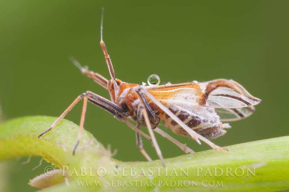 Aphidae 2 Ecuador