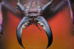Psalidognathus friendi - Ecuador