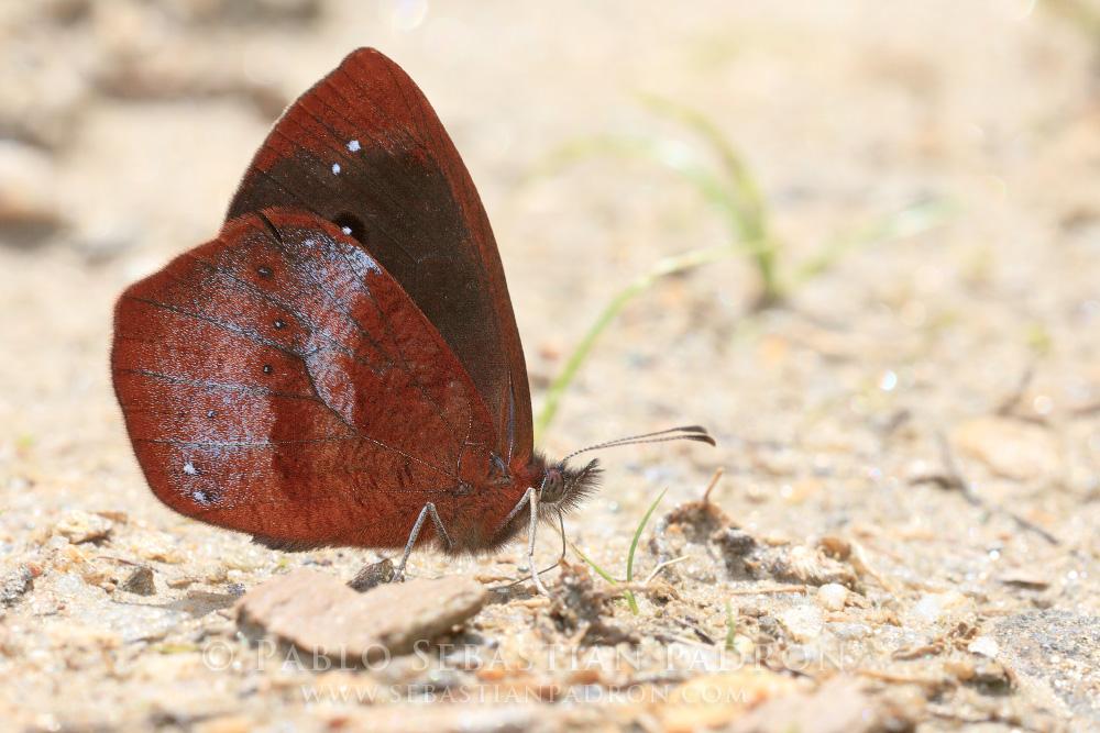 Lymanopoda obsoleta - Ecuador